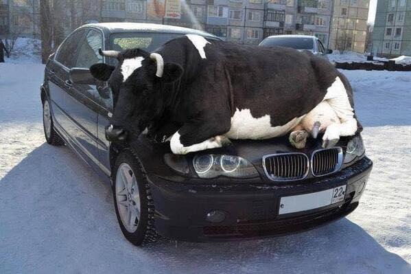 Kuh auf BMW